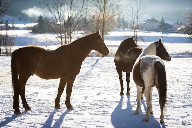 Три красивых лошади, стоящих в загоне на открытом воздухе в солнечный день