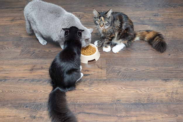 Three beautiful large domestic thoroughbred cats eat dry food from a bowl.