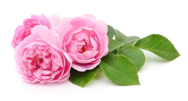 白い背景の上の3つの美しいピンクのバラ。