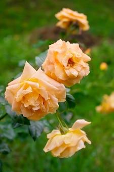 Три красивые желтые чайные розы в саду после дождя