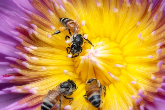 Three bees find for sweet in pollen of water lily