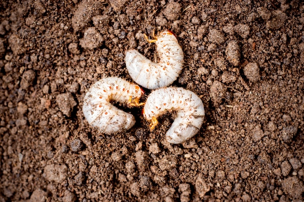 Three beetle larvae on soil.