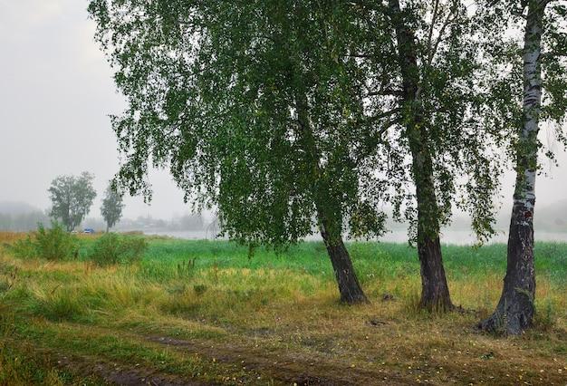Three birches on the lake shore