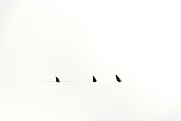 Three bird on cable