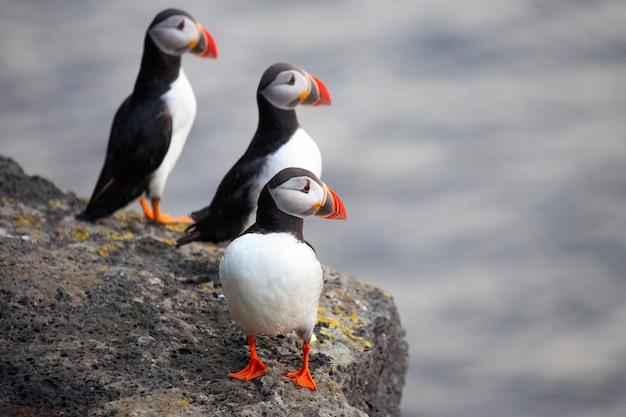 아이슬란드의 절벽에 앉아 세 마리 퍼핀