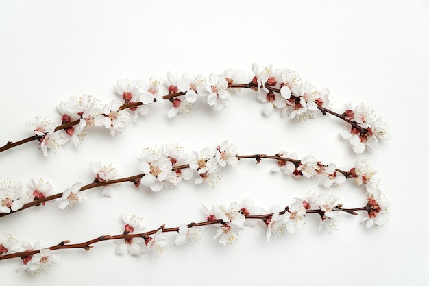 Три цветущих абрикосовых ветки на белом фоне. цветущее абрикосовое дерево.