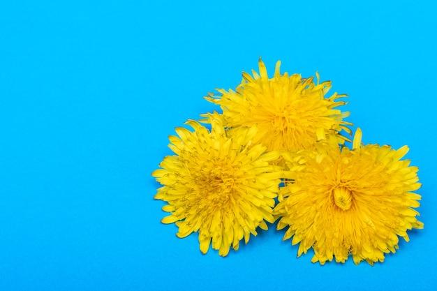 Три цветущих желтых одуванчика на синем фоне, крупным планом, копией пространства, минимализм. может использоваться как элемент дизайна, обложка, открытка.