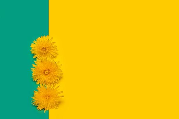 Три цветущих желтых одуванчика на желтом и зеленом фоне, крупный план, копия пространства, минимализм. может использоваться как элемент дизайна, обложка, открытка.