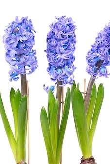 白で隔離される緑の葉を持つ3つの青い花ヒヤシンス