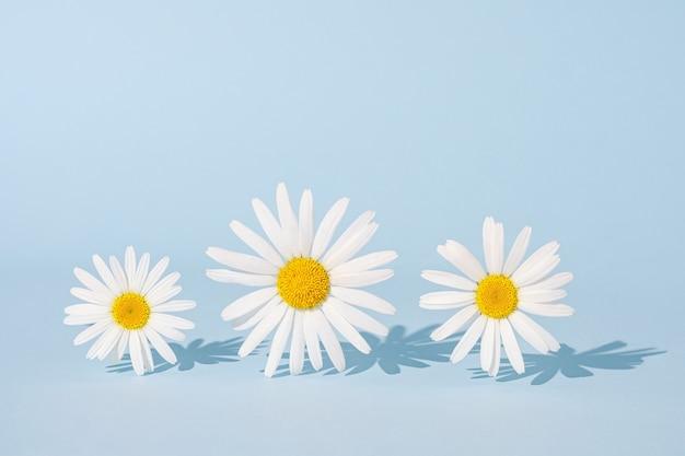 파란색 배경에 세 개의 대담한 초현실적인 추세 카모마일 꽃. 현대 최소한의 그래픽 포스터입니다.