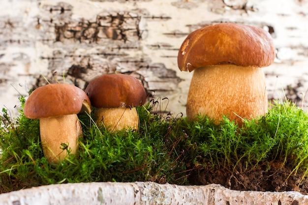 Три боровика во мхе на фоне композиции березовый лес.