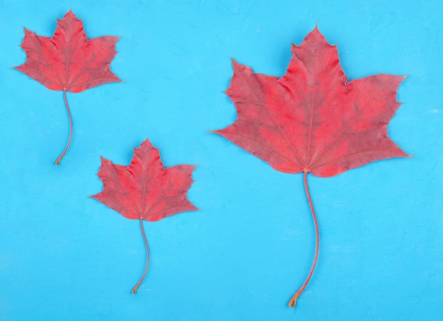 Three bright red maple leaves