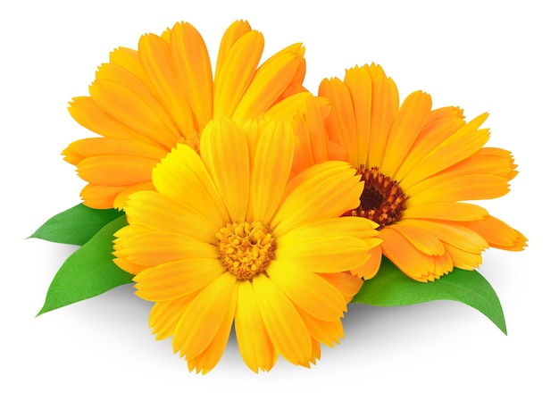 Three calendula (marigold) flowers isolated on white space