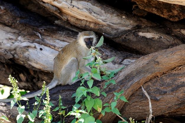 Три обезьяны зеленого мыса в национальном парке. кения, африка