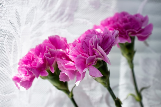 Three carnations on the background of white curtains.
