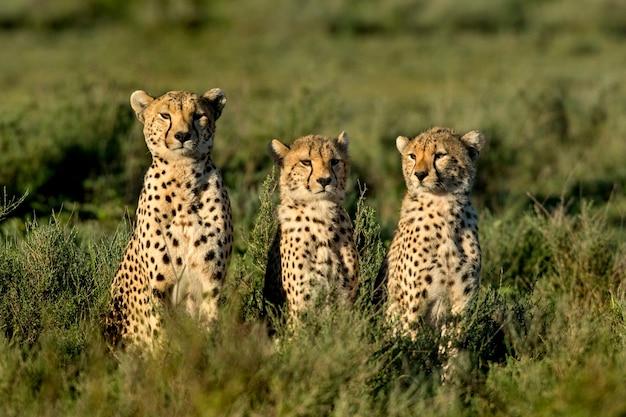 タンザニア、セレンゲティに座っている3頭のチーター