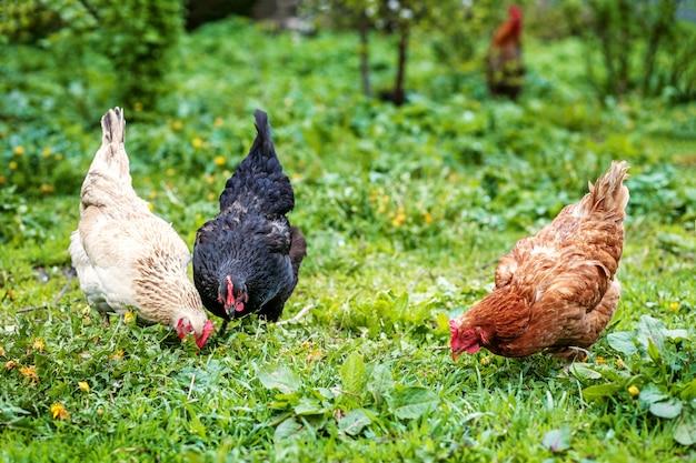 Three chicken walk on the lawn. concept bird farm.