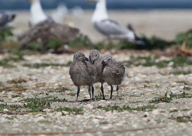 Три птенца каспийской чайки вместе стоят на песке возле колонии чаек