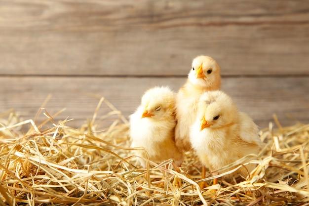 Three chicks in a straw on grey background