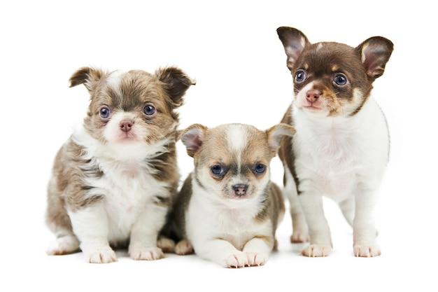 Три изолированных щенка чихуахуа. маленькие милые собаки на белом фоне. маленькая короткошерстная собака породы чихуахуа, студийная съемка.