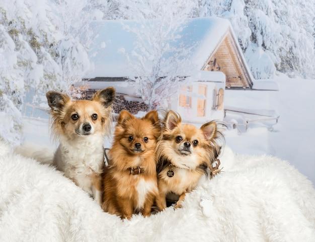 Три чихуахуа сидят на белом меховом коврике в зимней сцене