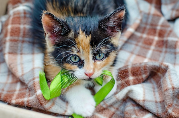 Three color kitten with a green ribbon in a cardboard box outside