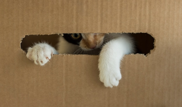 A three-colored kitten gnaws a cardboard box. kitty put his paw out of the box.