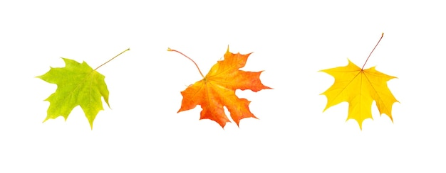 Three colorful autumn maple leaves isolated on white background