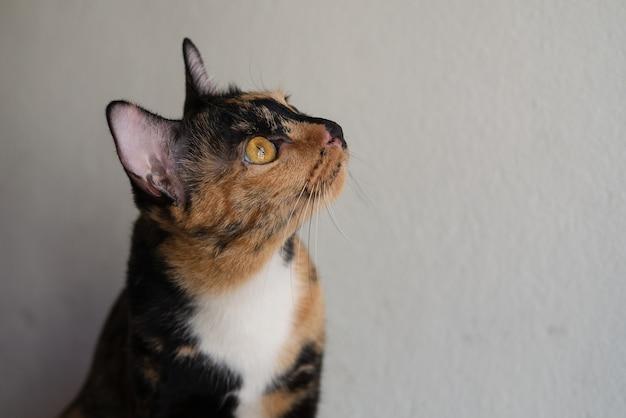 Трехцветный кот лежит дома со скучной и любопытной мордочкой для ленивого расслабления.