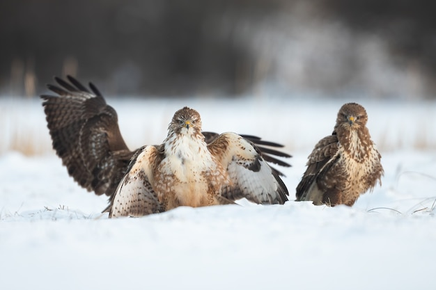 Three common buzzard standing on snow in winter nature