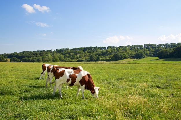 Three cows grazing on on the fields