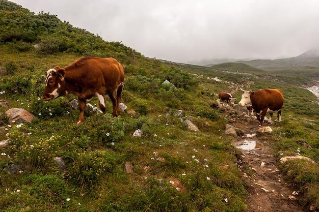 地面にたくさんの石がある山の小道を3頭の牛が歩く