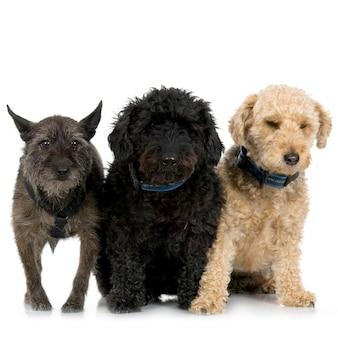 Три скрещенных или смешанных собак портрет изолированных