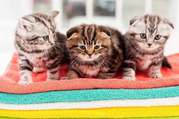 Трое любопытных котят. три милых шотландских вислоухих котенка сидят вместе на разноцветной стопке полотенец