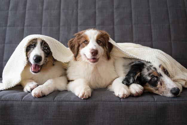 3匹のかわいいオーストラリアンシェパードブルーメルル子犬犬。赤の3色。白い格子縞の下。寒い冬の天候では、ペットは毛布の下で暖まります。