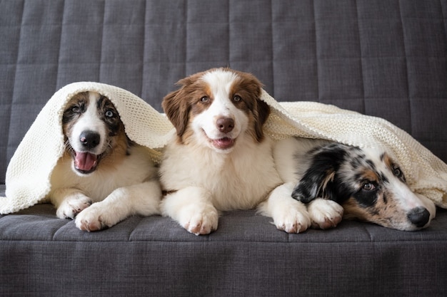 Three cute australian shepherd blue merle puppy dog. red three colours. under white plaid. pet warms under a blanket in cold winter weather.