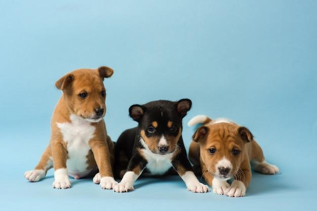 세 귀여운 basenji 강아지는 줄을