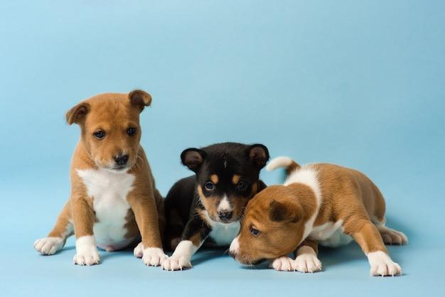 세 귀여운 basenji 강아지