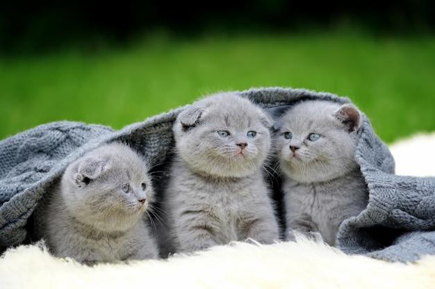 Three cute gray kitten on fur white blanket on nature