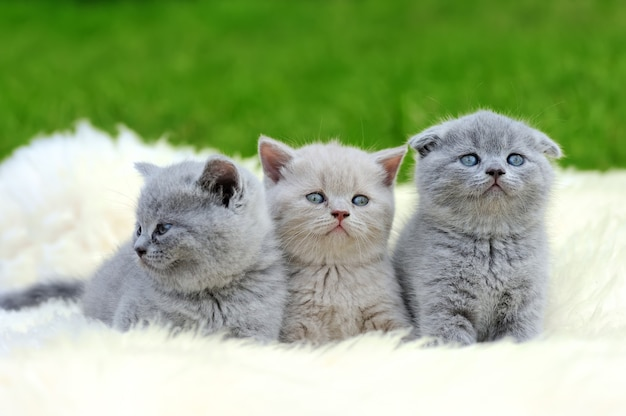 自然の毛皮の白い毛布に3つのかわいい灰色の子猫