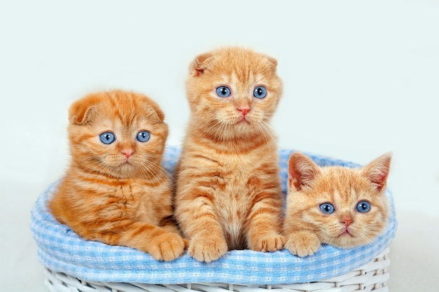 Three cute red kittens in a basket