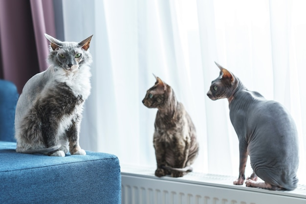 Three cute and smart sphynx cats at home