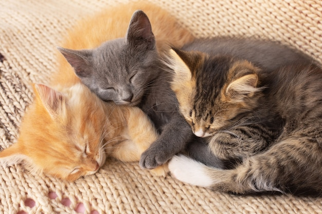 Three cute tabby kittens on knitted blanket. domestic animal.