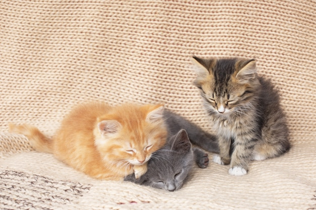 Three cute tabby kittens on knitted blanket.