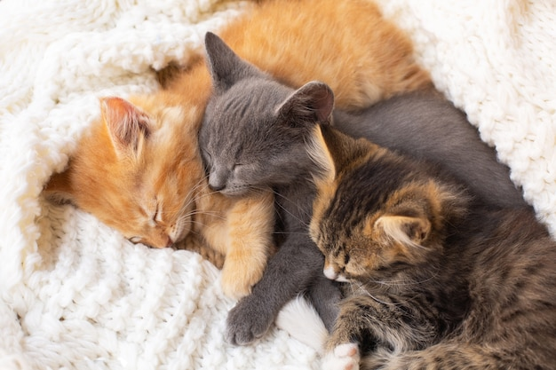 Three cute tabby kittens sleeping and hugging on white knitted scarf. domestic animal.