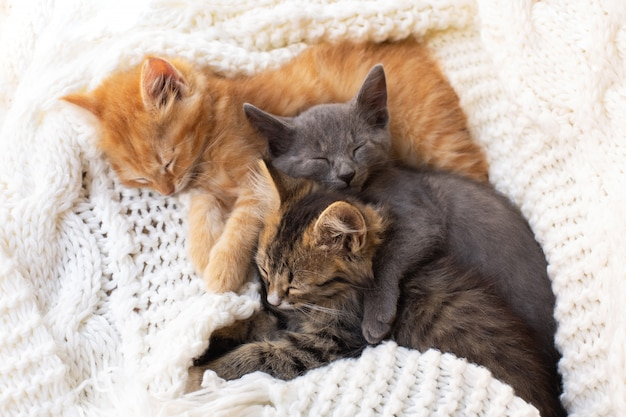 Three cute tabby kittens sleeping and hugging on white knitted scarf.