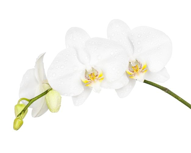 Three day old orchid isolated on white