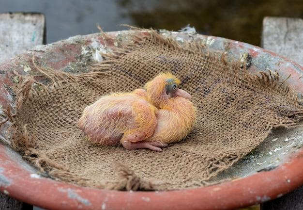 둥지에 3일 된 아기 비둘기를 닫습니다.