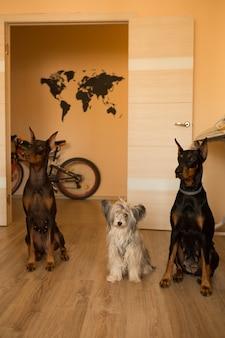 自宅にいる3匹の犬チャイニーズクレステッドドッグパウダーパフと2匹のドーベルマン
