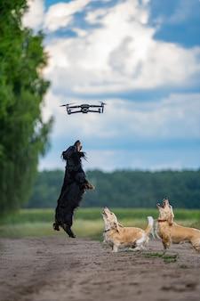 ドローンを捕まえようとしてジャンプする3匹の犬。自然の背景。小さな品種。